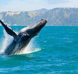 С середины января по март вы можете увидеть игры горбатых китов своими глазами!