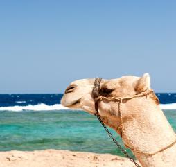 В разгар лета в Египте в самую жару без опаски могут отдохнуть на пляже разве что самые выносливые и верблюды!