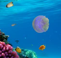 Фиолетовые медузы могут неприятно жалить при соприкосновении с кожей