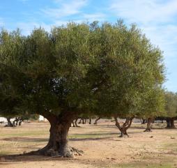 Ноябрь-февраль - сезон оливок в Тунисе